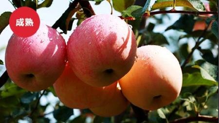山东栖霞红富士苹果(自家果园)直径90mm 12个装